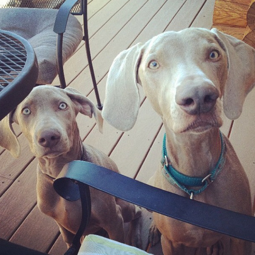www.barrettweimaraners.com - Boulder and Britta in Idyllwild - Autumn 2013.PNG