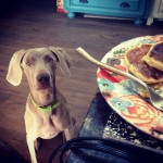 www.barrettweimaraners.com - Britta Begging for Breakfast - 2012.PNG