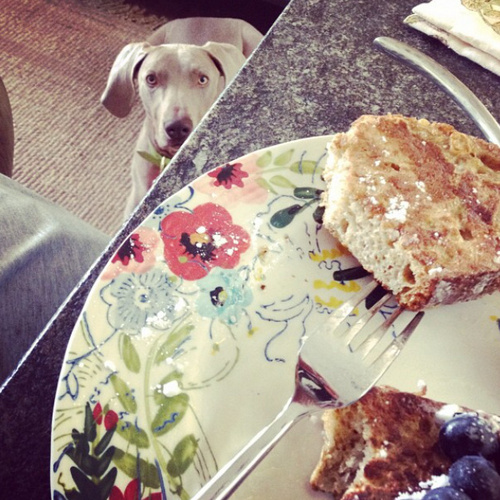 www.barrettweimaraners.com - Britta Begging for More Breakfast - 2012.PNG