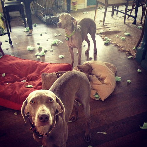 www.barrettweimaraners.com - Britta and Friday Shenanigans.PNG