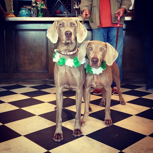 www.barrettweimaraners.com - Britta and Friday Wine Tasting - 2012.PNG