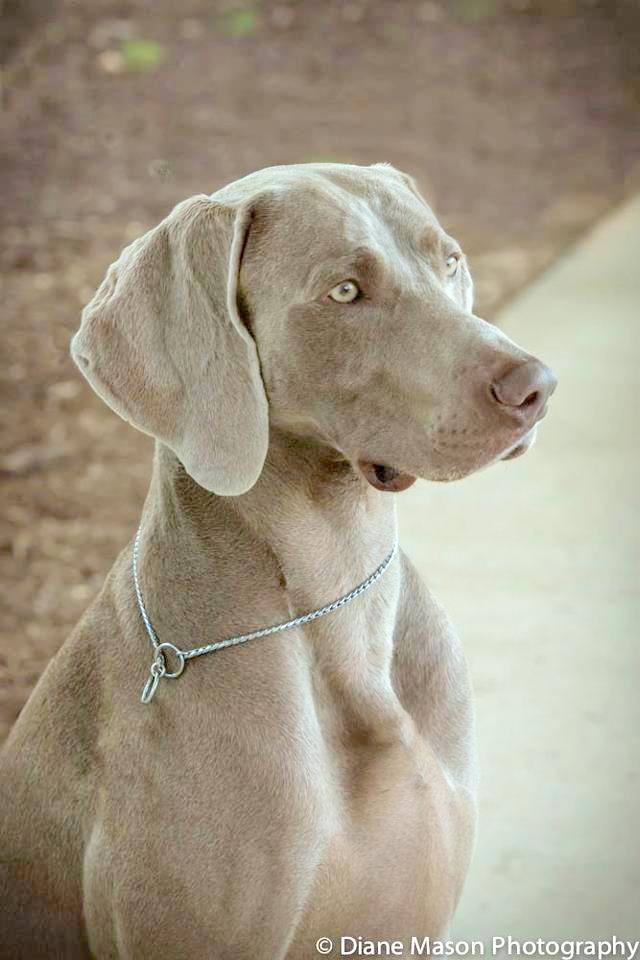 www.barrettweimaraners.com - Max at WCA Nationals in Georgia - 2013