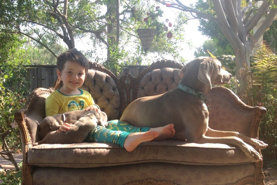 www.barrettweimaraners.com - 2013-07-05 - Our Boy with Puppies and Britta