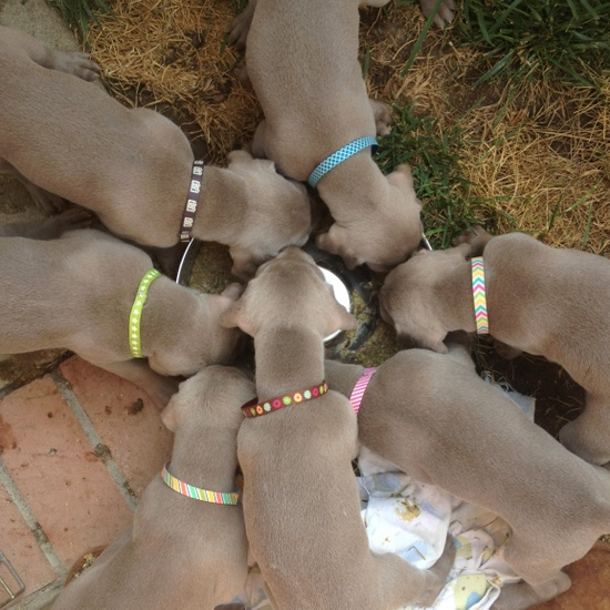 www.barrettweimaraners.com - 2013-07-05 - Puppy Chow