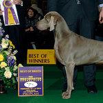 Westminster - Best of Breed - Nash - SR62441102