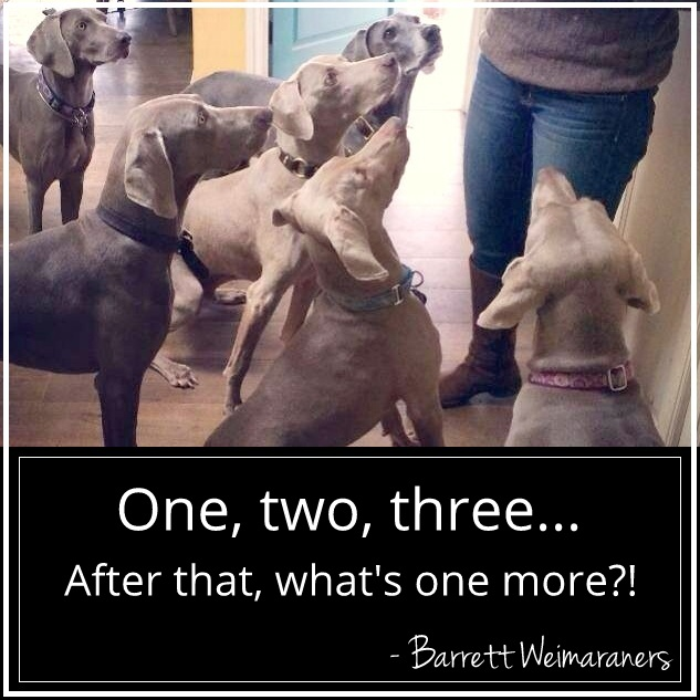 www.barrettweimaraners.com - 2014-04-11 - Six Dogs