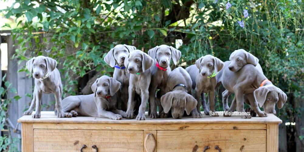 www-barrettweimaraners-com-the-integrated-nine
