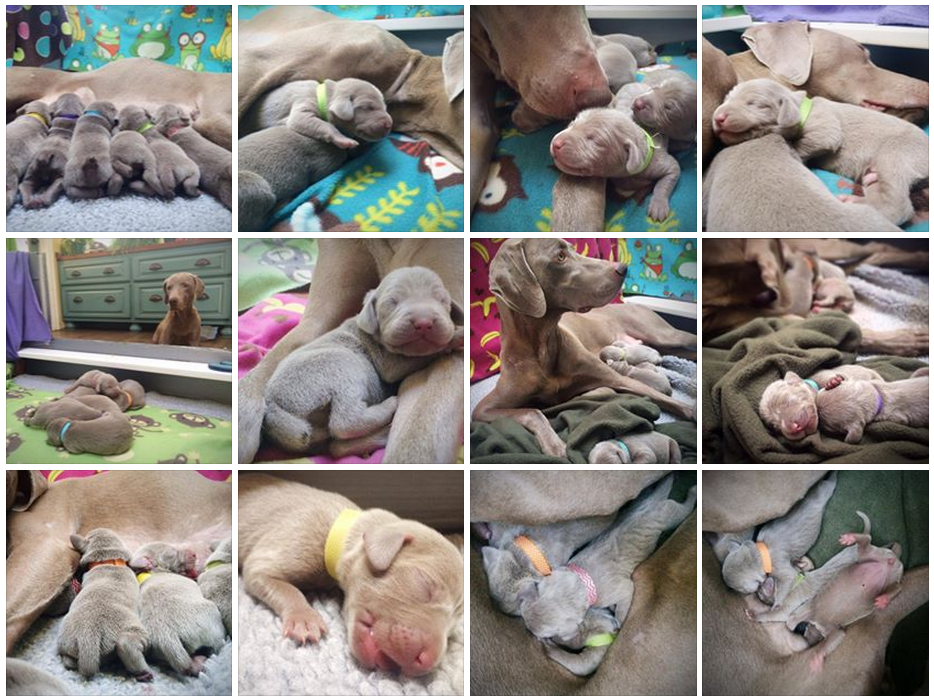 www.barrettweimaraners.com_Mika-Puppies_Week-1