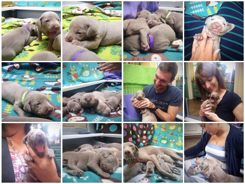 www.barrettweimaraners.com_Mika-Puppies_Week-2