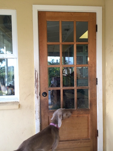 www.barrettweimaraners.com - Back Door