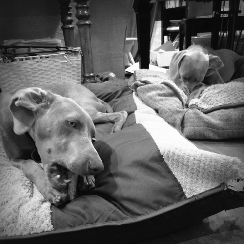 www.barrettweimaraners.com - Chewing and Nooking