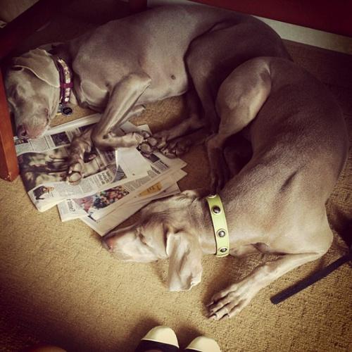 www.barrettweimaraners.com - Dogs Under Desk