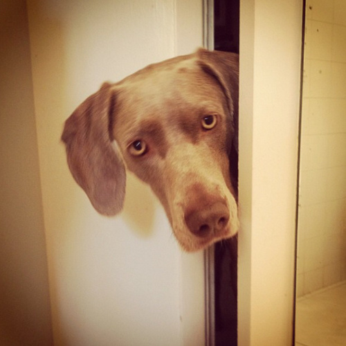 www.barrettweimaraners.com - Friday in the Bathroom