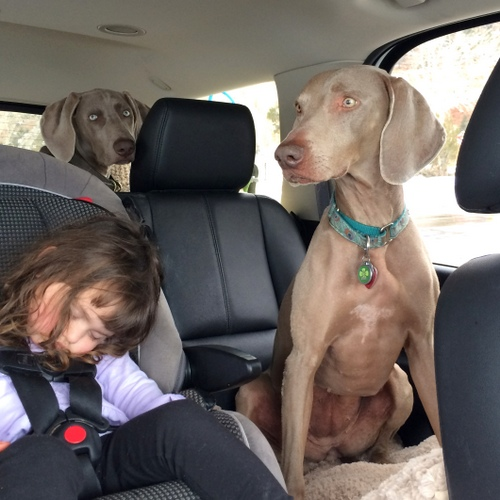 www.barrettweimaraners.com - Kids and Puppies -12