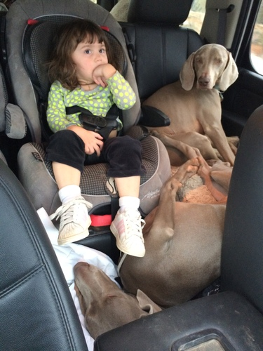 www.barrettweimaraners.com - Kids and Puppies - 15