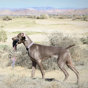 SWC All Breed Fun Day – LunaBelle in the Field