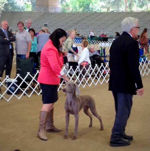 www.barrettweimaraners.com - Angeles Canyon Kennel Club - April 2014 - 005