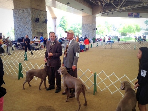 www.barrettweimaraners.com - Angeles Canyon Kennel Club - April 2014 - 012
