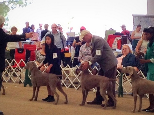 www.barrettweimaraners.com - Angeles Canyon Kennel Club - April 2014 - 015