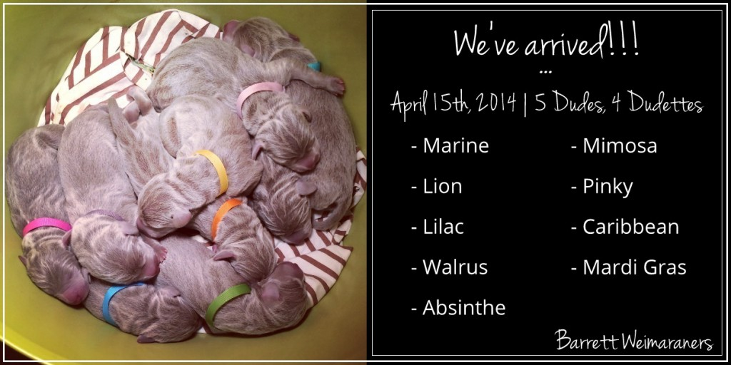 www.barrettweimaraners.com - Max x Friday 2014 - Introduction - 9 Puppies - Text.PNG