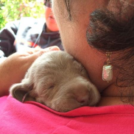 www.barrettweimaraners.com – 2014-04-26 – Puppy Visits – 002