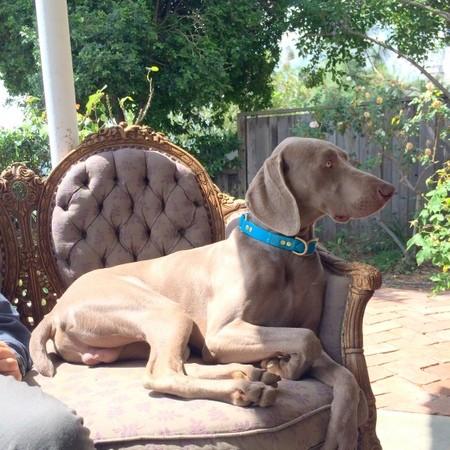 www.barrettweimaraners.com – 2014-04-26 – Puppy Visits – 005