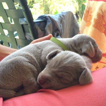 www.barrettweimaraners.com – 2014-04-26 – Puppy Visits – 016