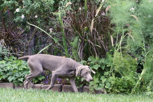 www.barrettweimaraners.com – May 2014 406