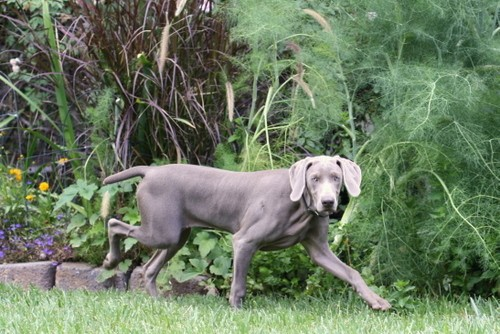 www.barrettweimaraners.com – May 2014 408