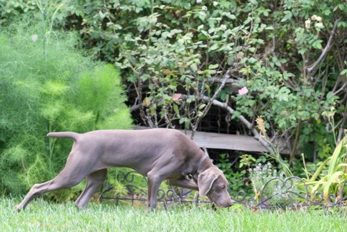 www.barrettweimaraners.com – May 2014 411
