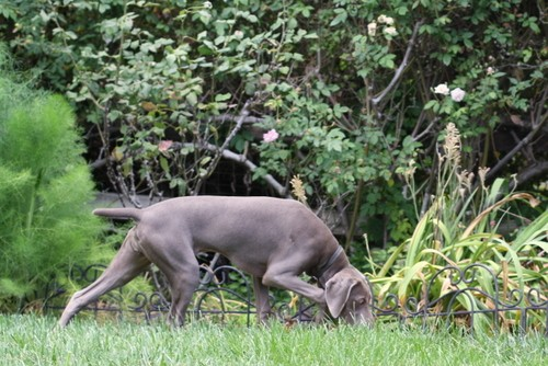 www.barrettweimaraners.com – May 2014 412