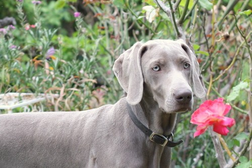 www.barrettweimaraners.com – May 2014 421