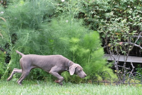 www.barrettweimaraners.com – May 2014 428