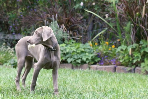 www.barrettweimaraners.com – May 2014 448