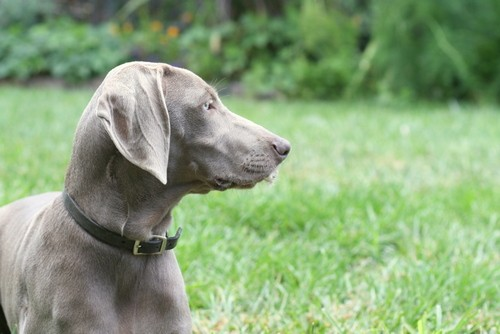 www.barrettweimaraners.com – May 2014 475