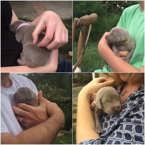 www.barrettweimaraners.com - Puppy Visits - April 25 2014