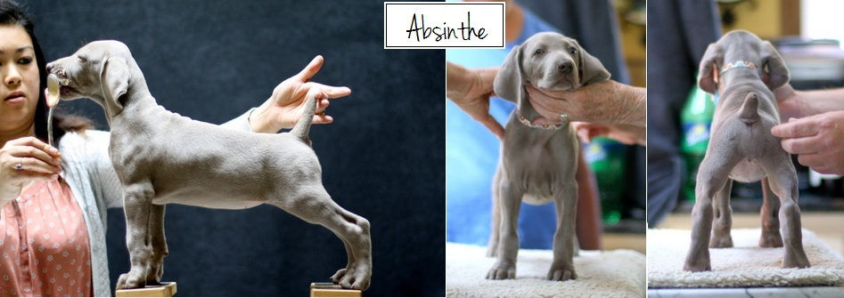 www.barrettweimaraners.com - Final Stacks - Day 56 - Absinthe - Posted
