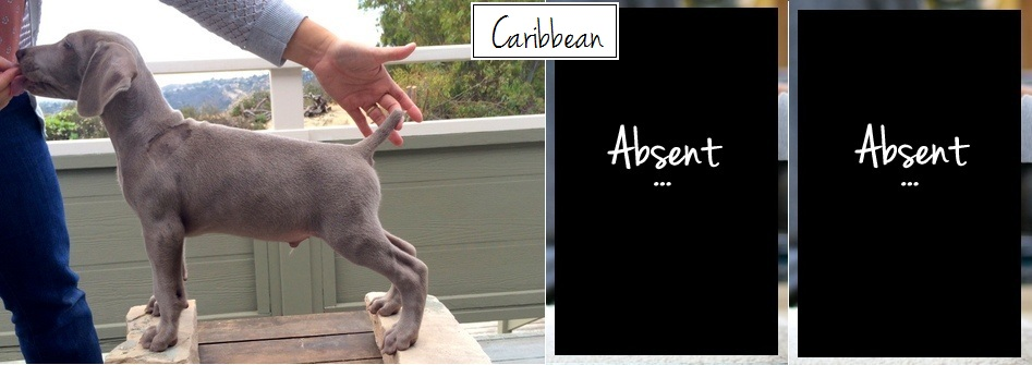 www.barrettweimaraners.com - Final Stacks - Day 56 - Caribbean - Posted