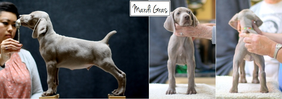 www.barrettweimaraners.com - Final Stacks - Day 56 - Mardi Gras - Posted