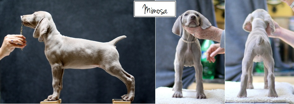 www.barrettweimaraners.com - Final Stacks - Day 56 - Mimosa - Posted