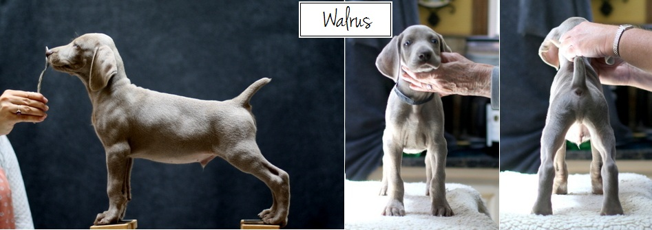 www.barrettweimaraners.com - Final Stacks - Day 56 - Walrus - Posted