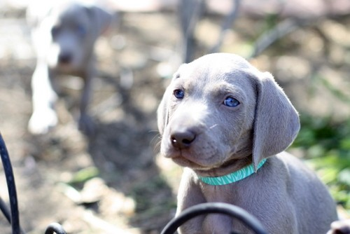 www.barrettweimaraners.com – May 2014 1260