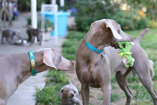 www.barrettweimaraners.com – May 2014 1279