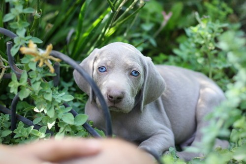 www.barrettweimaraners.com – May 2014 1316
