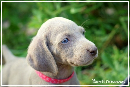 www.barrettweimaraners.com – May 2014 1433