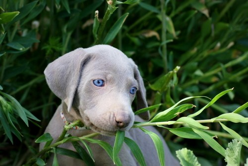 www.barrettweimaraners.com – May 2014 1545