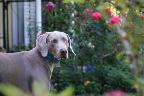 www.barrettweimaraners.com – May 2014 1562