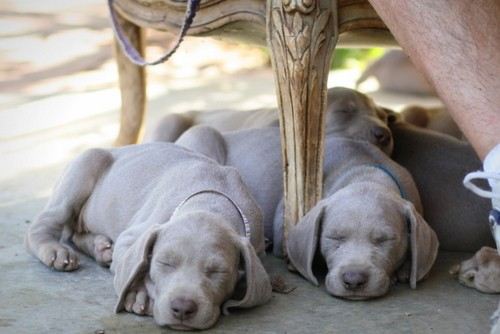 www.barrettweimaraners.com – May 2014 1580