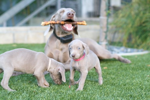 www.barrettweimaraners.com – May 2014 1841