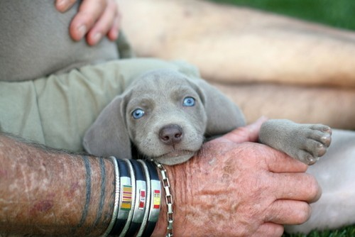 www.barrettweimaraners.com – May 2014 1914